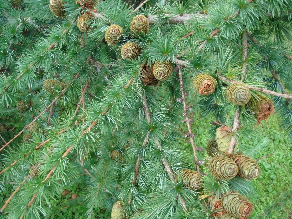 Лечение сибирской лиственницей