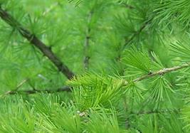 Древесина сибирской лиственницы